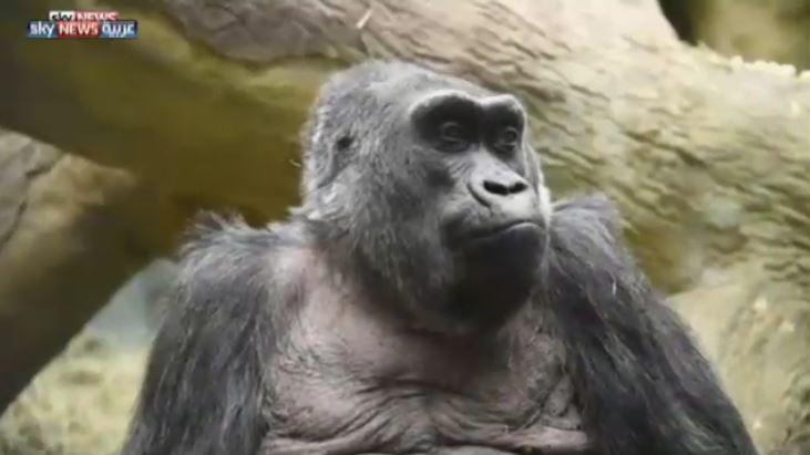 صورة وفاة أكبر غوريلا معمرة عن عمر 60 عام