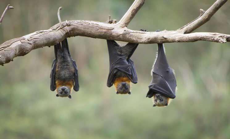 صورة 200 ألف خفاش يحاصرون بلدة إسترالية