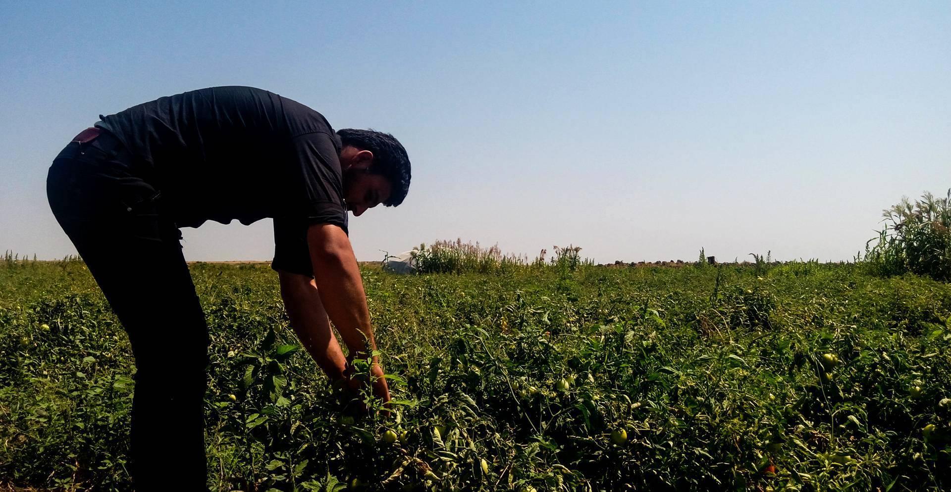صورة الجراد يقضي على 70% من محاصيل جنوب إدلب
