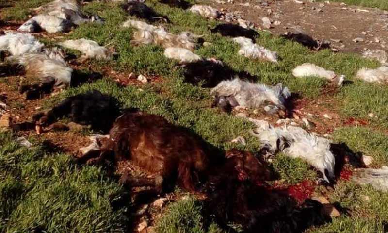 صورة لبنان.. إعدام 80 رأس ماعز سوري على الحدود