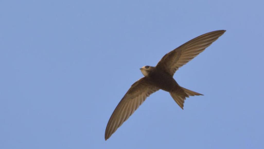 صورة طائر يطير 10 أشهر متواصلة.. ولا ينزل إلى الأرض إلا للتزاوج!
