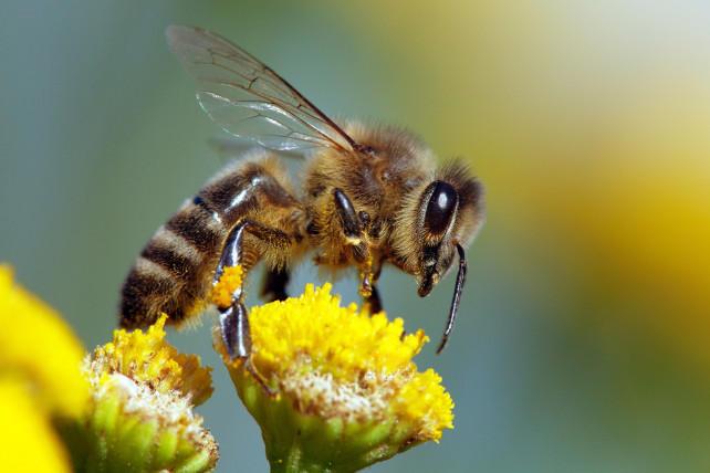صورة اكتشاف علمي ..سم النحل يدمر أغشية الخلايا السرطانية خلال ساعة