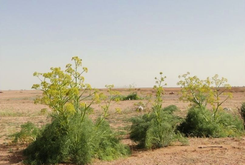 """صورة دراسة بريطانية: نبتة موطنها المغرب العربي """"فعالة للغاية"""" ضد فيروس كورونا"""